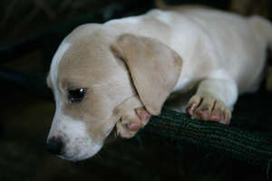 Puppy awaiting adoption