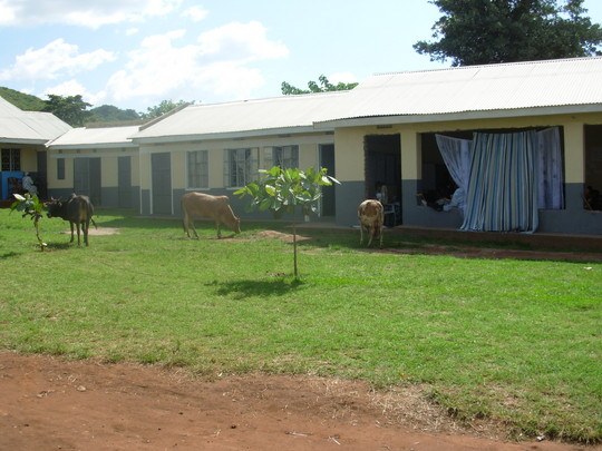 Cows grazing next to Women's Workshop and computer lab.