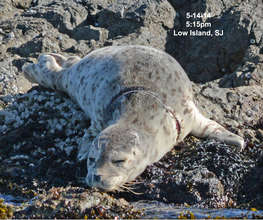 Harbor seal with plastic around neck, San Juan Isl