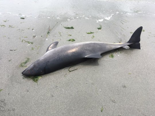 June 2018 porpoise, Whidbey Island