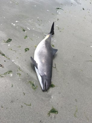 June 7th Harbor porpoise stranding