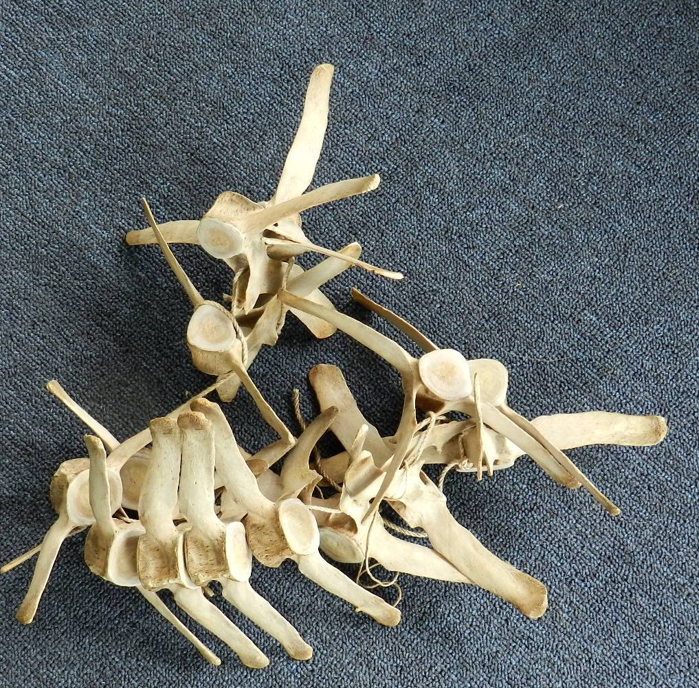 Vertebrae from Harbor Porpoise, after cleaning