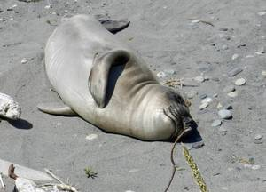 Lagoon Pt. Elephant seal pup, May 20, S.Dubpernell
