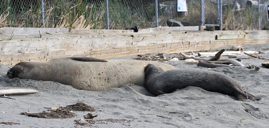 Ellie the Elephant Seal and pup Ellison, Jill Hein