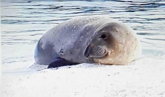 Elephant seal Ellison, 12-2017, Jeff Harris photo