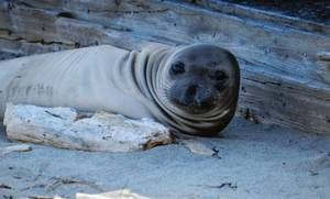 Ellison the Elephant seal pup, May 5, the Wegners