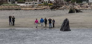 Jill Hein photo: Gray whale spyhops near Langley!