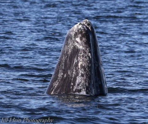 Gray whale#185, new to N.Puget Sound 2018, J.Hein