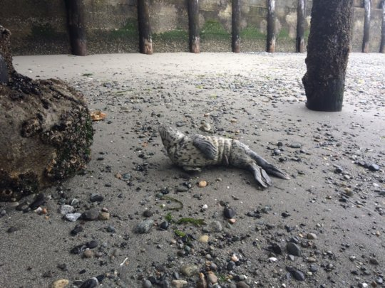 Harbor seal pup, Bush Pt, Whidbey Island July 2018