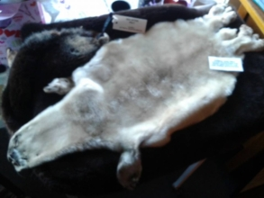 Seal pup & Sea otter pelts at Langley Whale Center