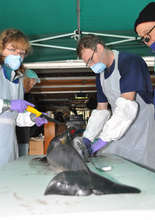 Dr's Norman & Rickman - porpoise necropsy