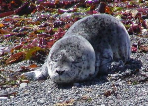 Healthy seal pup napping on the beach