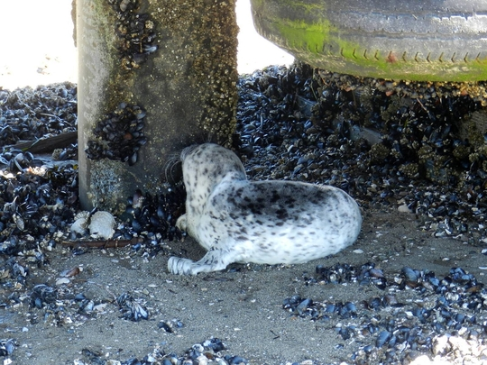 Seal pup near Coupeville, WA by Sandra Dubpernell