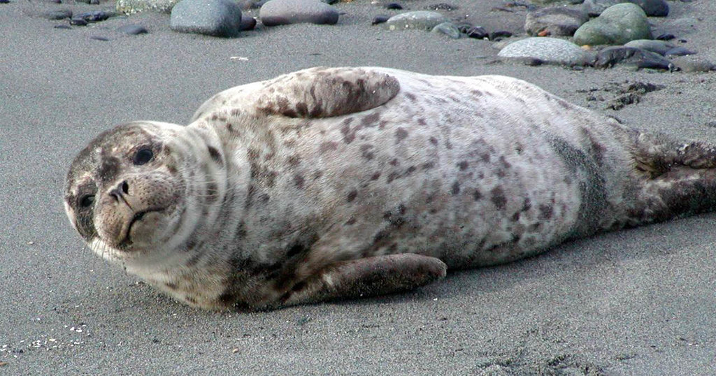 Healthy seal pup near ferry, by Sandy Dubpernell