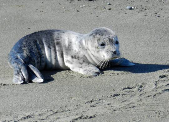 Harbor seal pup, photo by Sandra Dubpernell