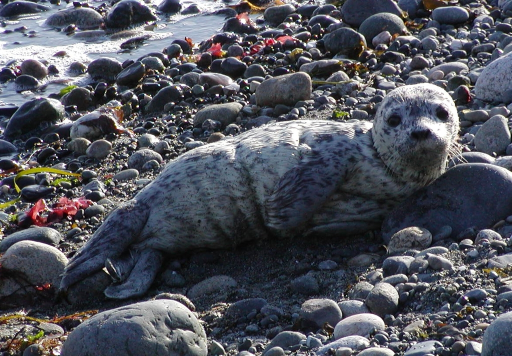 Young seal pup, by Sandy Dubpernell