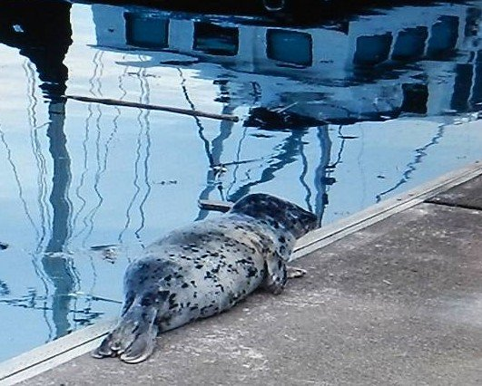 Seal pup hauled out to rest on a dock