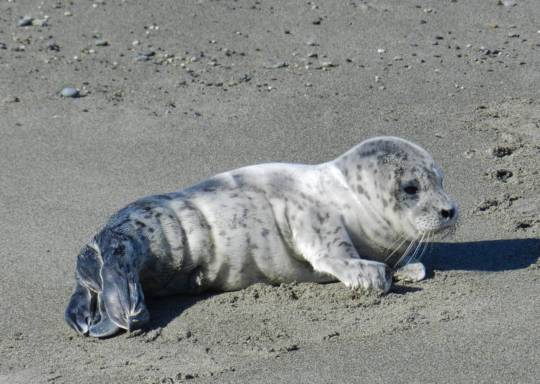 Seal pup on the beach, photo by Sandy Dubpernell