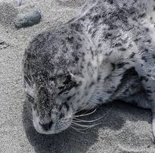 Sleeping seal pup, photo by Sandy Dubpernell