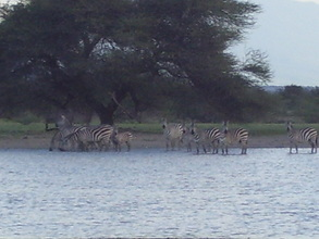Zebras flock to new water hole
