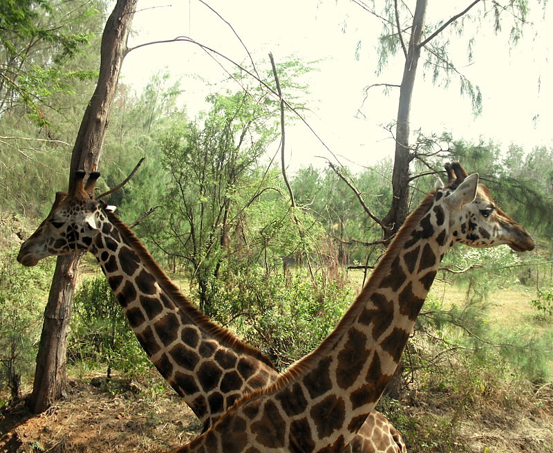 Giraffe continue to eat the trees as they step over the fences