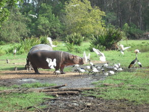 Hippos are at great risk due to the drought