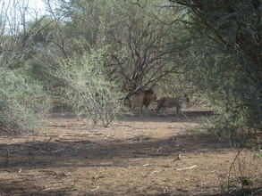 Lions have returned to Magadi in big numbers and regularly sleep