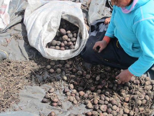 Potatoes in Ecuador