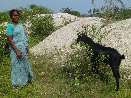 A goat bought with a Microfinance loan