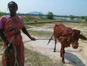 A cow bought with a Microfinance loan