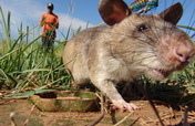 Fund a Landmine Detecting HeroRAT in Tanzania