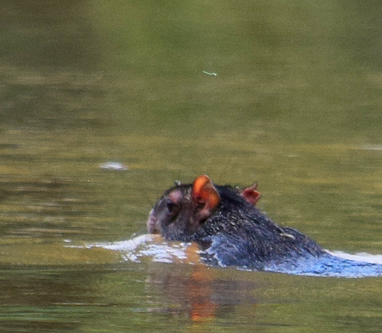 12. Agouti swimming across Yaguasyacu River