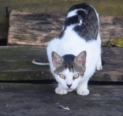 2. Cat in Pebas with salamander