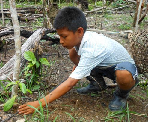 Bora boy tending rosewood seedling at Brillo Nuevo