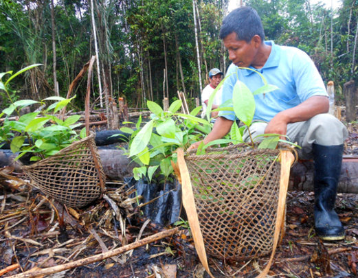 Bora man with rosewood seedlings in a basket