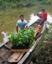 Carrying rosewood seedlings to forest in canoe