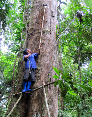 Collecting copal resin lump from tall tree.  CACE