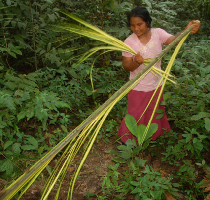 Dolores stripping leaflets from chambira leafspear