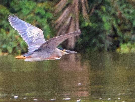 Heron flying over Ampiyacu River