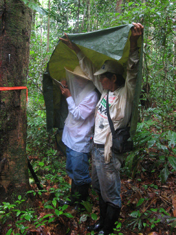 Italo and Angel monitoring copal tree in the rain