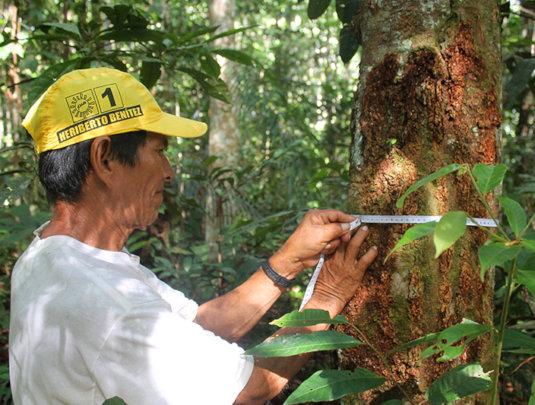 Italo measuring copal tree size