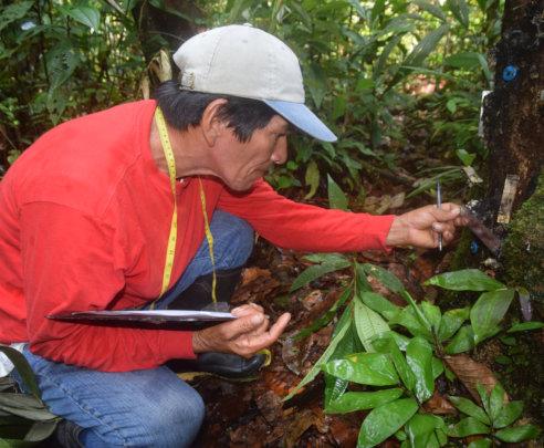Italo monitoring resin lump on copal tree