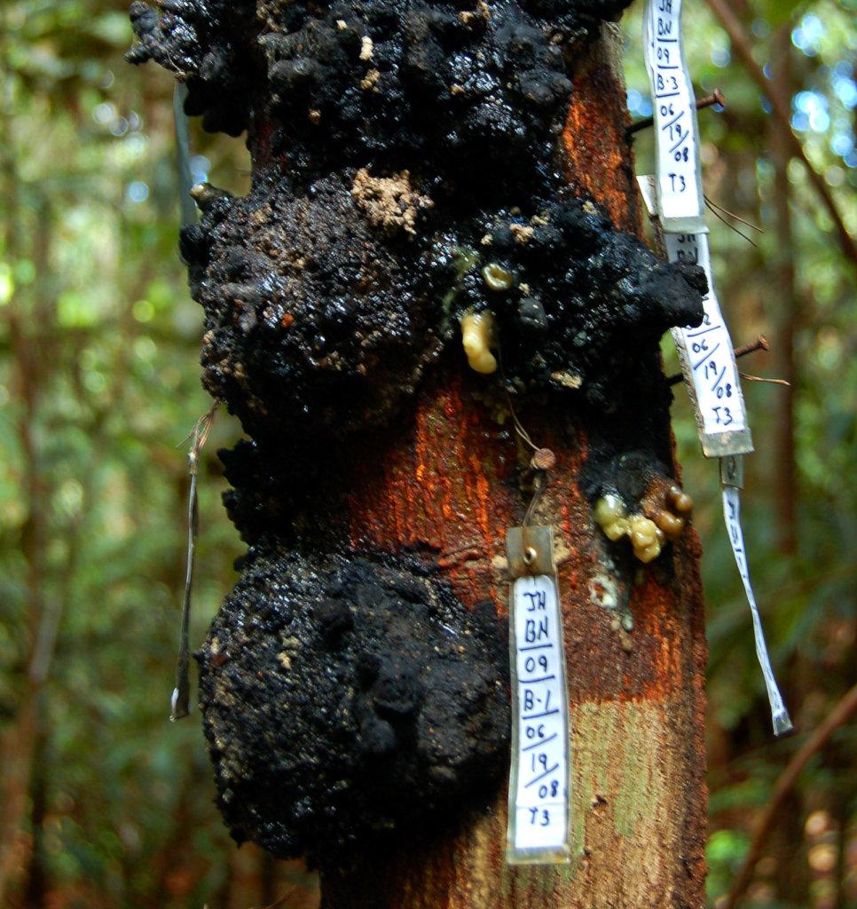 Resin lumps on copal tree at Jenaro Herrera