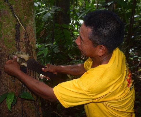 Maijuna man harvesting copal resin at Nueva Vida