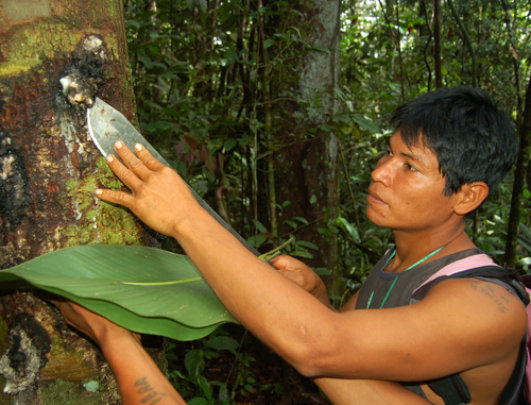 Maijuna man harvesting copal resin near Napo River