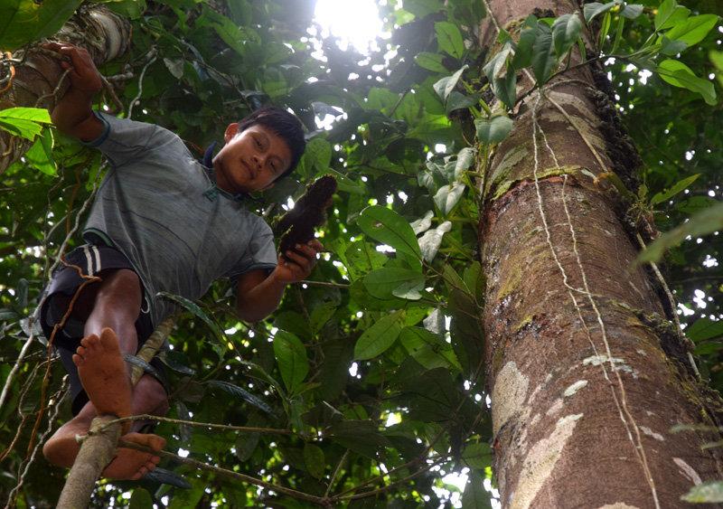 Maijuna boy tossing copal resin down from trunk