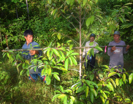 Measuring width of rosewood tree at Brillo Nuevo.