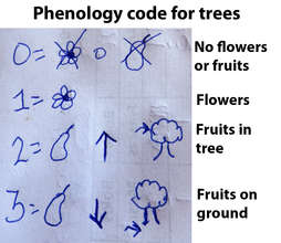 Copal tree phenology code sheet with pictures