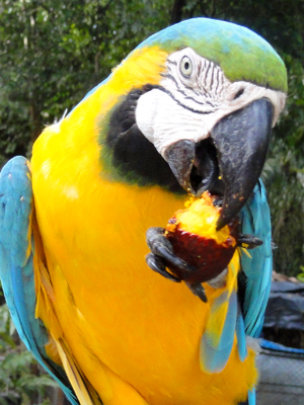 Blue and gold macaw eating aguaje fruit