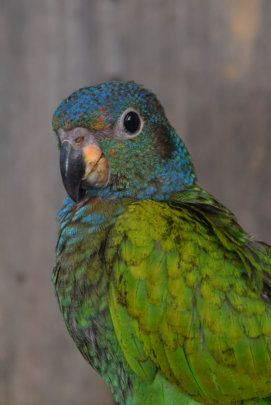 blue headed parrot at Chino